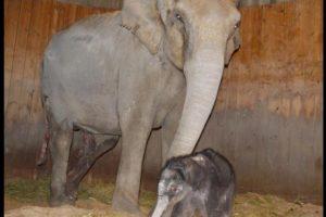 Cría de elefante nacida en el Zoo de Madrid