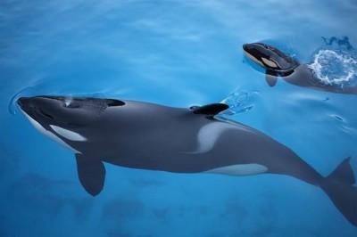 Orca nacida en Marineland