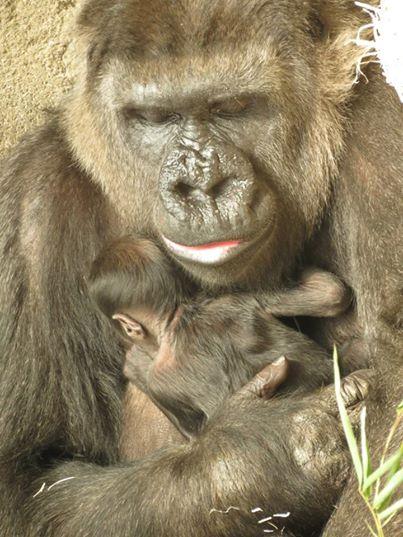 Nacimiento Gorila en el Zoo de Madrid