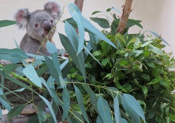 Kuna, el nuevo koala del Zoo de MAdrid