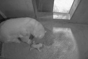 Nacimiento oso polar en Marineland