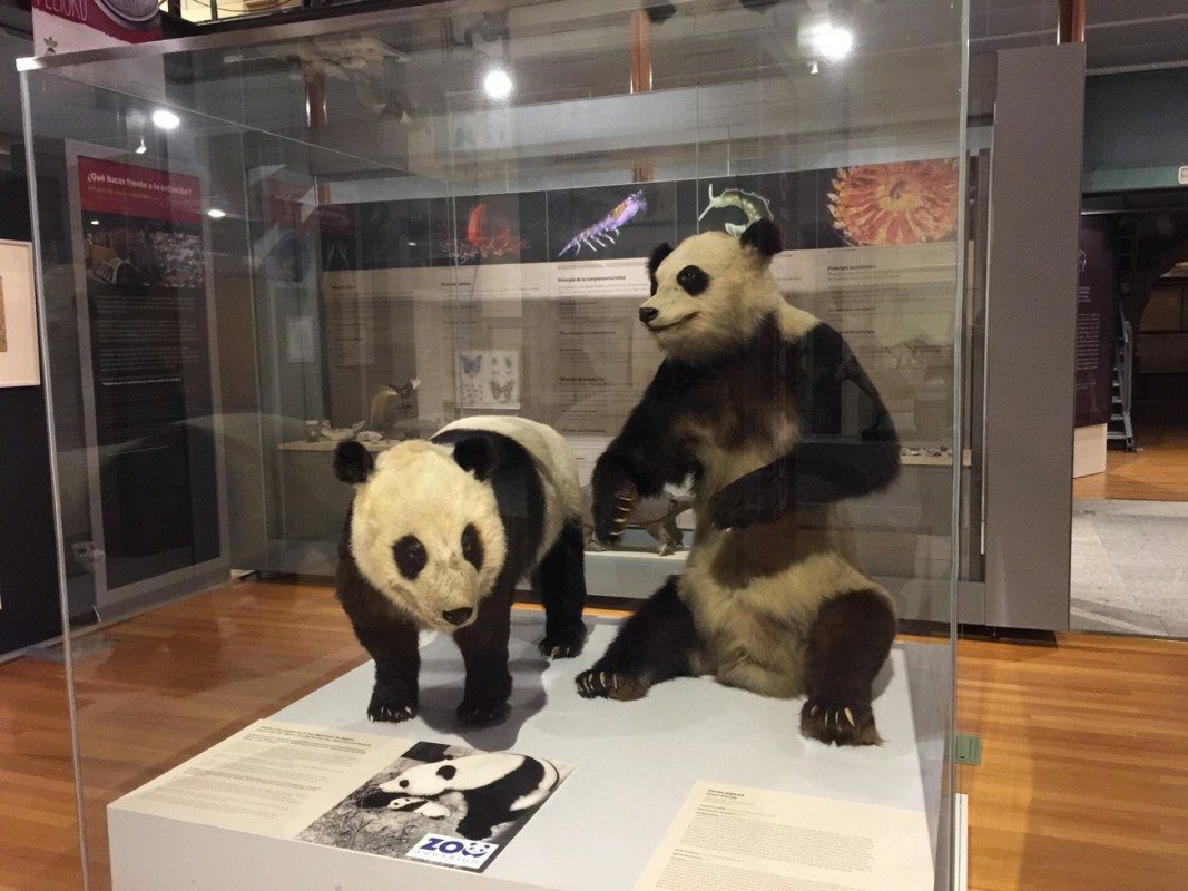 Chulín y Shao Shao en el MNCN baja
