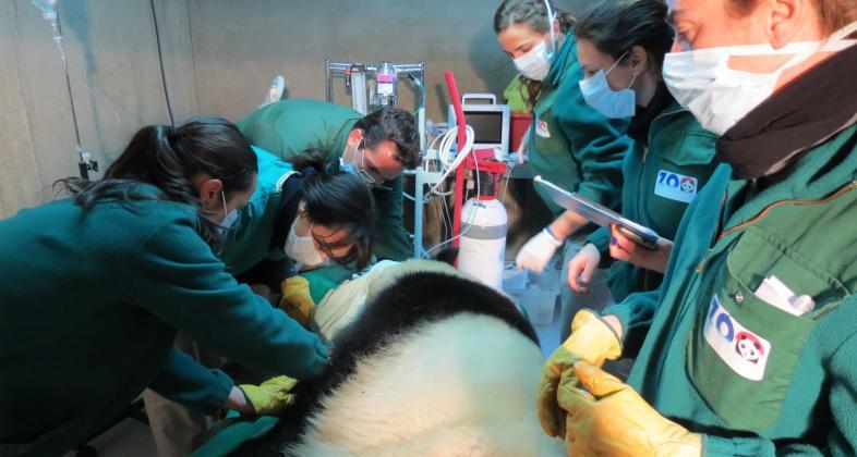 inseminacion_panda_zoo_madrid_baja