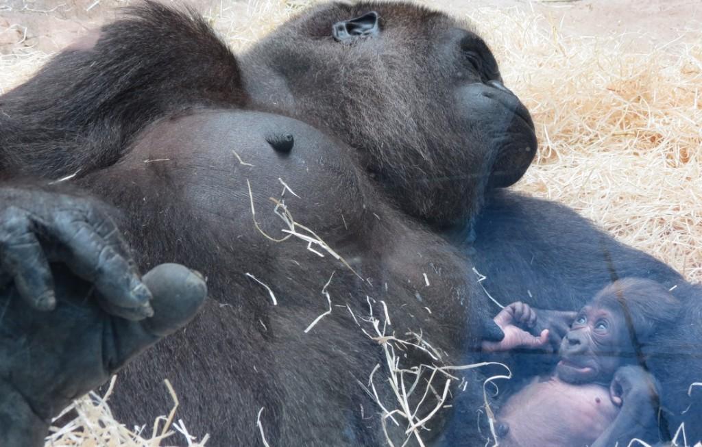 yangu_y_su_cria_de_gorila