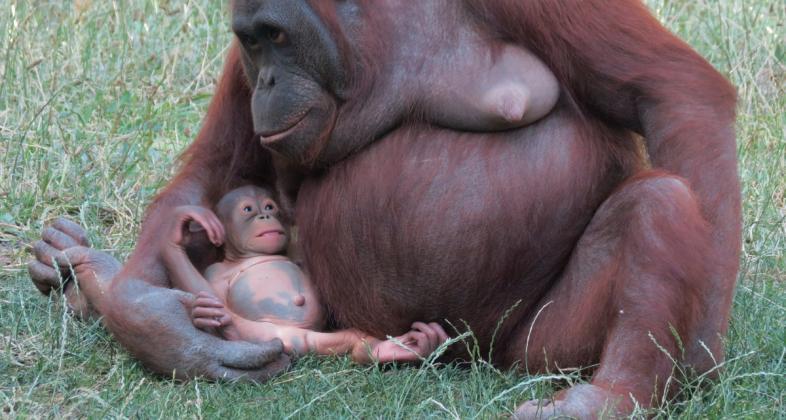 orangutan_caring_week_2016