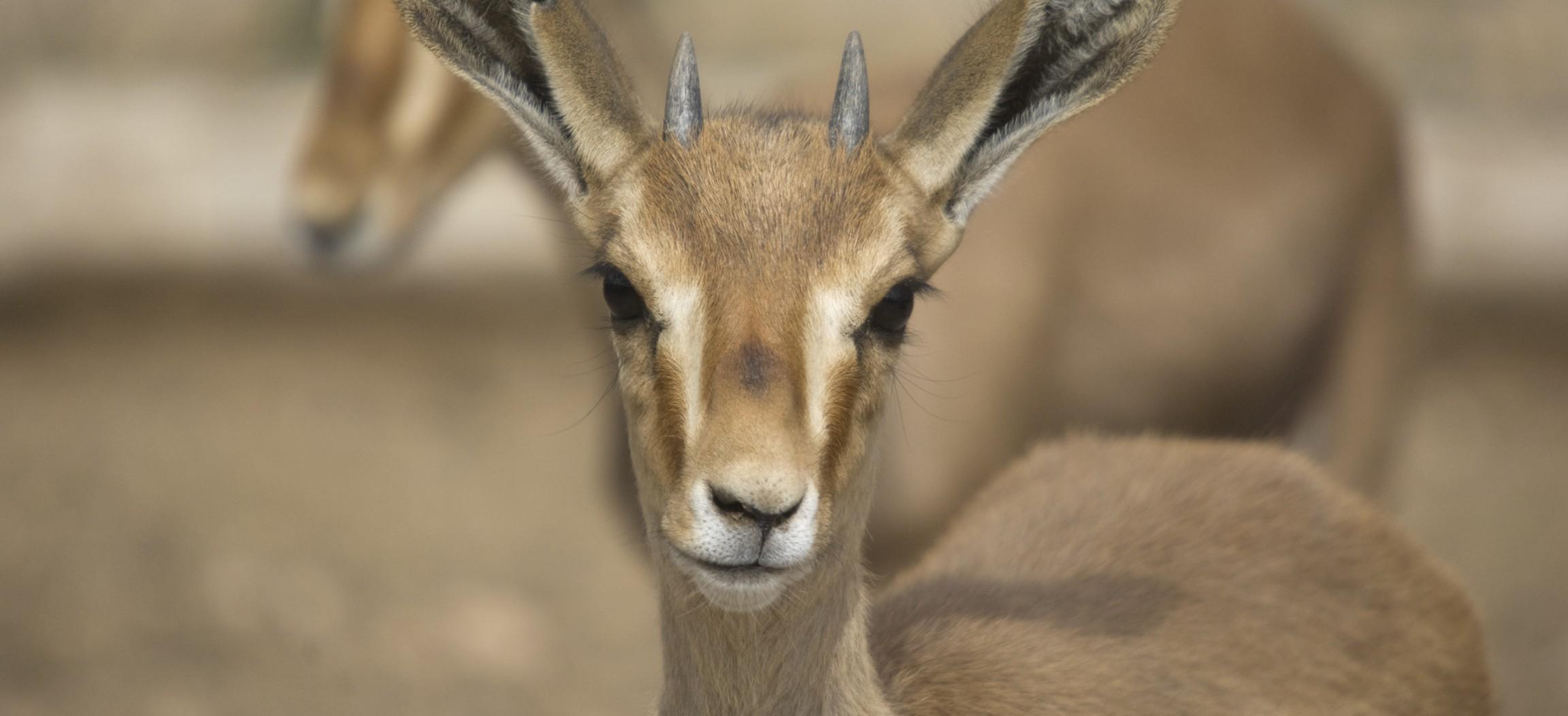 gazela-fundacion